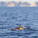 Dolphins on the sea